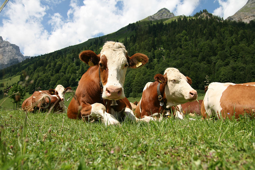 simmental cattle with mountains in background