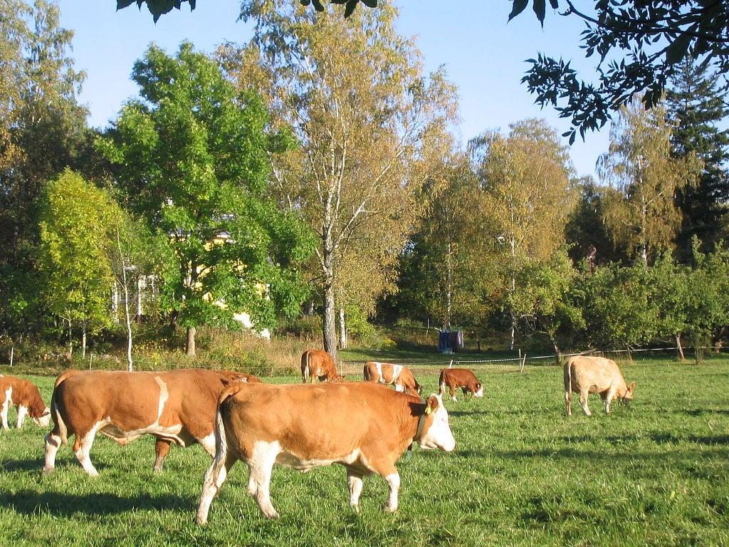 simmental cattle walking in field
